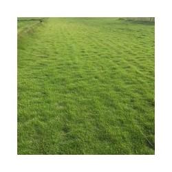 滁州马尼拉草坪出厂价格多少钱,绿馨草坪,马