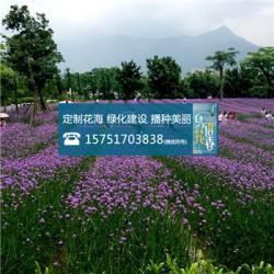 浦公英种子丨江苏春百宝种业