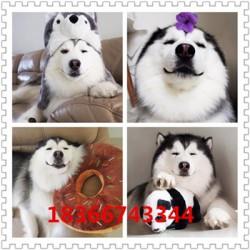 泸州血统卡斯罗护卫犬大骨架阿拉斯加幼犬
