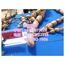 鄂莲5号供应,鄂莲5号,汉川藕御莲藕种植场