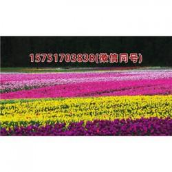 进口黑麦草种子丨江苏春百宝种业