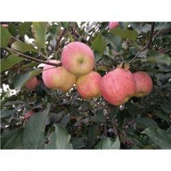 今 日 大量供应山东红富士苹果通货农户价格