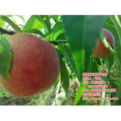 桃树苗招标|湖北桃树苗|枣阳桃花岛