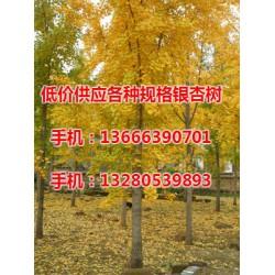 28公分银杏树价格、银杏树价格、老战友银杏