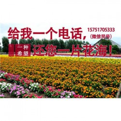 矮杆单头向日葵种子丨江苏春百宝种业
