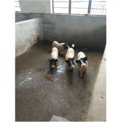藏香猪养殖场辽宁大连市周边藏香猪多少钱大