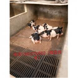 藏香猪养殖场湖北钟祥市周边哪里有巴马香猪