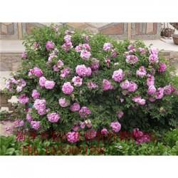 观赏牡丹基地北京牡丹苗价格.紫斑牡丹价格