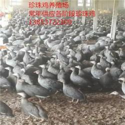 贵阳市珍珠鸡多少钱一只