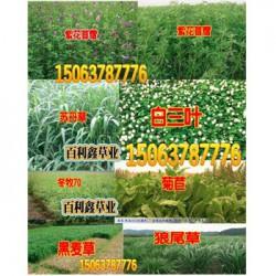 牧草籽粒苋图片-热点新闻
