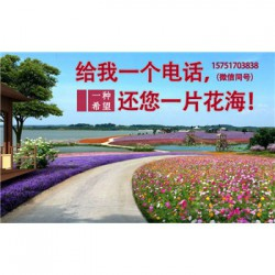 勋章菊种子丨江苏春百宝种业