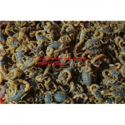 甘肃生态蝎子养殖基地加温蝎子养殖