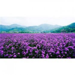 山西省七叶一枝花种子