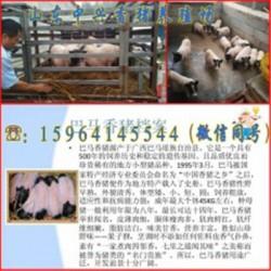 大同巴马香猪养殖场宁德散养的巴马香猪多少