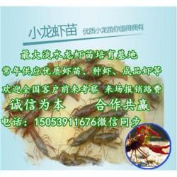 柏乡县龙虾苗多少钱一斤—龙虾繁育基地