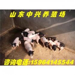 廊坊巴马香猪养殖场佳木斯大型巴马香猪养殖