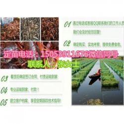 郸城县龙虾苗多少钱一斤—龙虾繁育基地