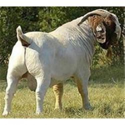 母羊饲料的预混料的绝佳选择
