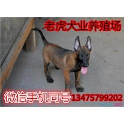云南丽江纯种活体马犬价格纯种活体马犬价格