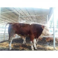 广西小黄牛多少钱一斤