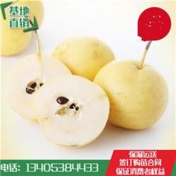 品种齐全梨树青皮梨树苗品种保证