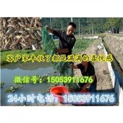 开平小龙虾指导价格—龙虾种苗报价