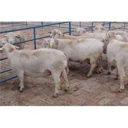 湖南邵阳肉羊品种