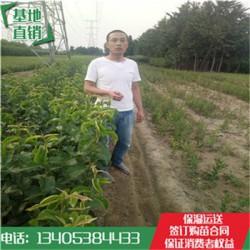玉露香梨树苗根系发达梨树苗品种保证