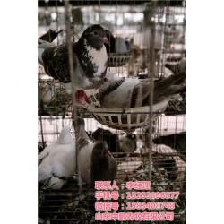 黑龙江商品鸽、山东中鹏农牧、商品鸽报价