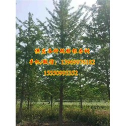浩威银杏(图)_25公分实生银杏树价格_实生银