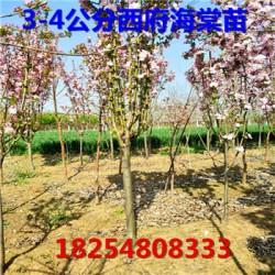 疏勒县基地川中岛桃树种苗批发