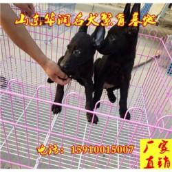 浙江台州纯种黑狼犬基地在那里