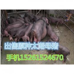 湖北藏香猪多少钱一头