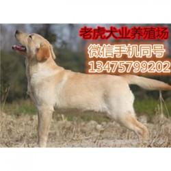 吉林四平哪里有卖猎兔犬纯种格力犬全活长期