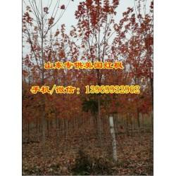 12公分美国红枫|通园银杏园林|美国红枫