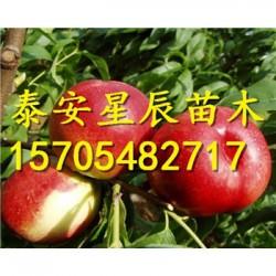 中油19号油桃树苗多少钱一株