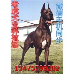 贵州凯里纯种卡斯罗犬价格卡斯罗犬幼犬价格