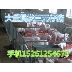 云南本地母猪批发