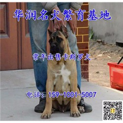 江苏南京三个月卡斯罗犬哪里有卖的