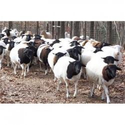 吉林白山黑山羊批发价格