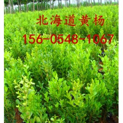 2.5米北海道黄杨2米3米3.5米4米北海道黄杨价格