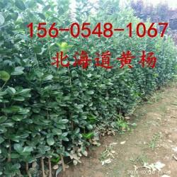丛生北海道黄杨1.5米1.8米2米2.5米3米北海道黄杨