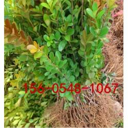 1.5米丛生北海道黄杨报价1.8米-2米-3米丛生北海道黄杨