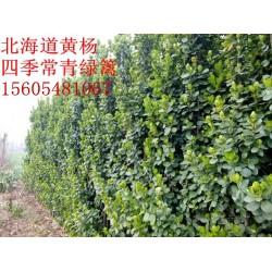 -2米-2.5米规格齐全3米-3.5米-4米丛生北海道黄杨