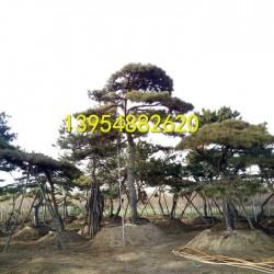泰安造型松;泰安景观松;泰安风景松