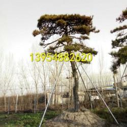 泰安造型黑松-泰安造型油松-泰安造型赤松-泰安造型五针松