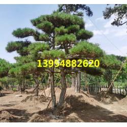 泰安造型松-泰安造型景松-泰安造型松树