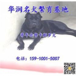重庆永川三个月卡斯罗犬哪里有卖的