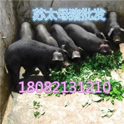 西安杜洛克母猪厂家价格