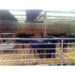 四川泸州肉羊多少钱一斤